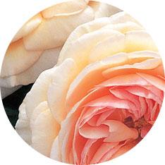Pococks Roses E-commerce Website Build & Branding case study