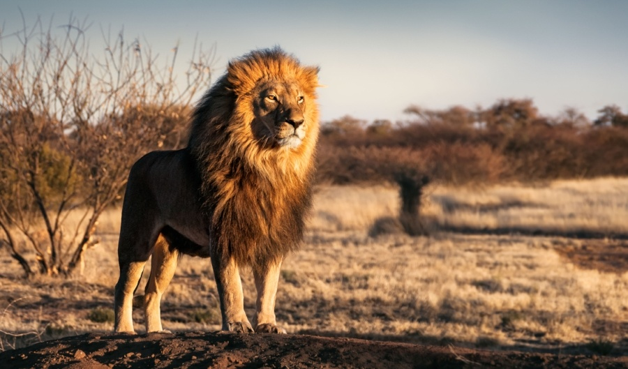 lion-blog